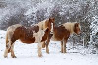 horses-snow