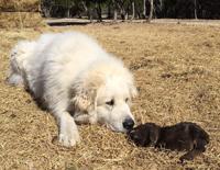 Sasha-baby-goat